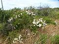Melaleuca huegelii (habit).JPG