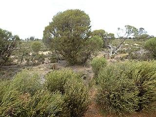 <i>Melaleuca lateriflora</i> species of plant