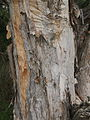 Melaleuca viridiflora bark.jpg