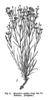 <i>Menodora scabra</i> species of plant