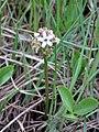 Menyanthes trifoliata kz01.jpg