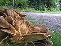Meripilus giganteus - geograph.org.uk - 244115.jpg