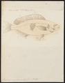 Mesoprion argentimaculatus - 1774-1804 - Print - Iconographia Zoologica - Special Collections University of Amsterdam - UBA01 IZ12900298.tif