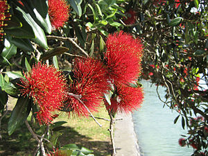 Metrosideros - Flowers and foliage of M. excelsa