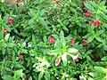 Mimulus grex valentine 1.jpg