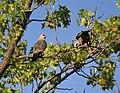 Mississippi Kites (works) (32277025620).jpg