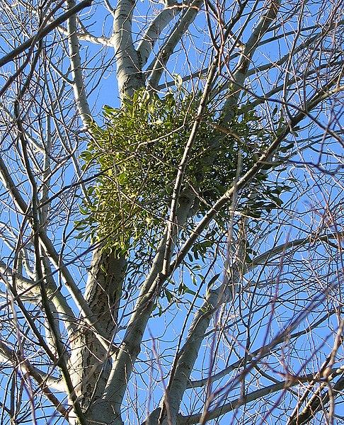 File:Mistletoe in White Poplar 1.jpg