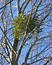 Mistletoe in White Poplar 1.jpg