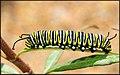 Monarch Butterfly Caterpillar (108984261).jpeg