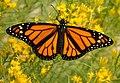 Monarch Butterfly on Seedskadee National Wildlife Refuge (28921989892).jpg