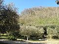 Monte Lozzo, uliveto nei pressi dell'ex cava.jpg