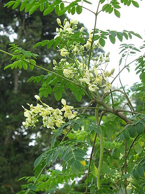 Moringa oleifera: flower and fruit. Taken at M...