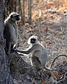Morning Gossip at Bandhavgarh (3495817329).jpg