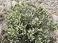 Mortonia utahensis 1.jpg