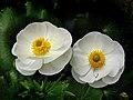 Mount Cook Lilies (7) (9754841473).jpg