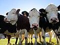 Mucche al Cansiglio.jpg