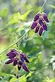 Mucuna pruriens (Velvet bean) നായ്ക്കുരണ. (23935854957).jpg