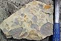 Mudchips in sandstone (Vinton Member, Logan Formation, Lower Mississippian; Mohawk Dam emergency spillway, western Coshocton County, Ohio, USA) 3 (26620254223).jpg