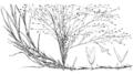 Muhlenbergia asperifolia HC-1950.png