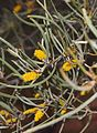 Mulga blossoms.jpg