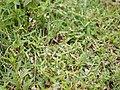 Murdannia sp. (6256100497).jpg