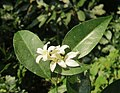 Murraya paniculata - Orange jessamine at Mayyil (2).jpg