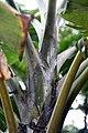 Musa paradisiaca var. sapientum Filipito 3zz.jpg