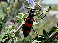 Mylabris oculata - CMR bean beetle colour variant.JPG