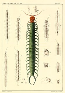 <i>Scolopocryptops</i> Genus of centipedes