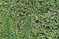 Myriophyllum alterniflorum 9035.jpg