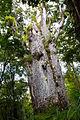 NZ150415 Waipoua Forest Te Matua Ngahere 01.jpg