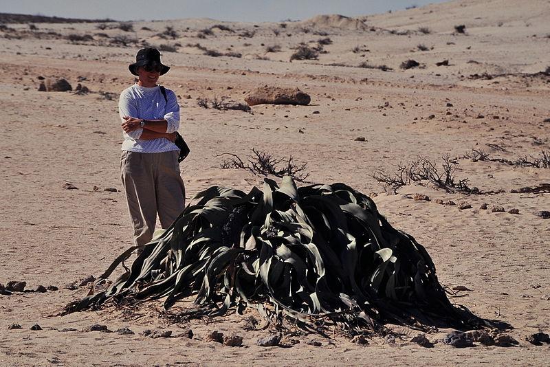 File:Namib, Welwitschia mirabilis.jpg