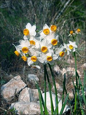 Narcissus tazetta - Narcissus tazetta (the mountain ecotype) in Israel.