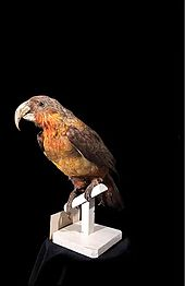 File:Naturalis Biodiversity Center - RMNH.AVES.110061 - Nestor productus (Gould, 1836) - Norfolk Island Kaka - specimen - video.webm