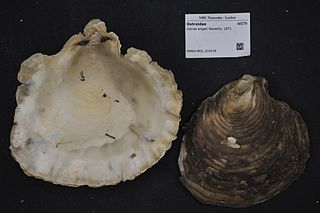 <i>Ostrea angasi</i> Species of oyster endemic to southern Australia