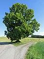 Naturdenkmal Kleinbockedra Scheibentalslinde.jpg