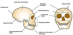 Front and side view diagram of Neanderthal skull emphasizing large circular orbits, no chin, projecting mid-face, large nasal cavity, large brow ridge, receding forehead, long flat braincase, occipital bun, fossa, and a large gap behind the third molar