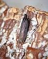Neofaculta ericetella (35780253536).jpg
