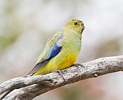 A yellow parrot with blue-tipped wings and blue marks between the eyes and the beak