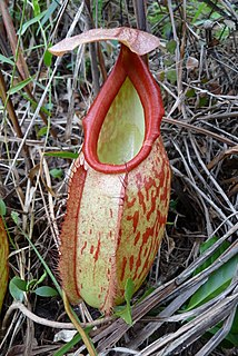<i>Nepenthes holdenii</i> species of plant