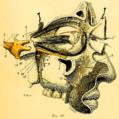 Nerf maxillaire supérieur, vue latérale.png