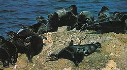 Un groupe de phoques de Sibérie, se réchauffant sur un rocher du lac Baïkal