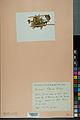 Neuchâtel Herbarium - Anthyllis cherleri - NEU000034018.jpg