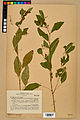 Neuchâtel Herbarium - Impatiens noli-tangere - NEU000019959.jpg