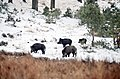 Never seen so quiet searching for food thes wild pigs^ Thats the joy of walking in the snow^ See next picture for details - panoramio.jpg