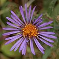New England Aster (Symphyotrichum novae-angliae) - Kitchener, Ontario 02.jpg