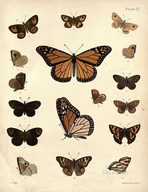 New Zealand Moths and Butterflies (1898) 11.jpg