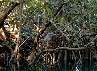 Oleta River - Image: Night Heron at Oleta River State Park
