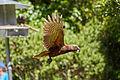 North Island kākā (Nestor meridionals septentrionalis) in flight.jpg