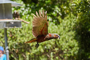 New Zealand kaka - North Island kākā in flight, showing red plumage on underside of wing.  At Pukaha Mt Bruce National Wildlife Centre.